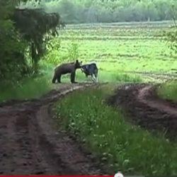 Hund och björn i närkamp