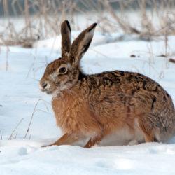 Passa på att jaga hare i spårsnön