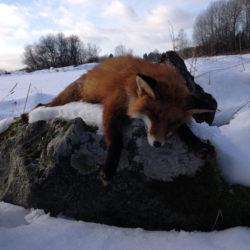 Gör en viltvårdsinsats och jaga räv