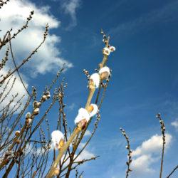 Öka kvistbetet med videsticklingar