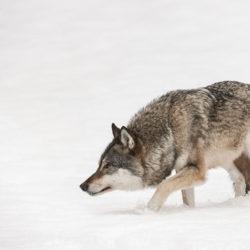 Nya regler kan hindra vinterns vargjakt.
