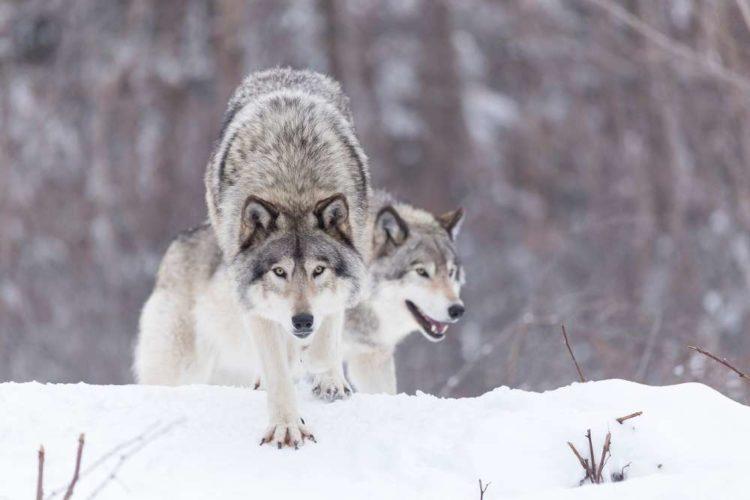 Så många vargar får skjutas där du bor