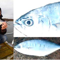 Den första fisken av blå gaffelmakrill som registerats sportfiskefångad i Sverige. Foto: Storfiskregistret.