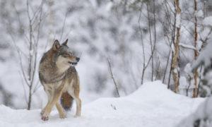 Naturvårdsverket: Ja till licensjakt på 46 vargar