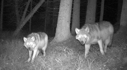 Bekräftat: Minst två vargvalpar överlevde alfatiken