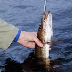 Snart dags för islossning. Det är hög tid att börja fundera över vårens gäddfiske.